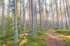 Leksand_forest